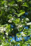 Photo 1/3 Styrax officinalis L.