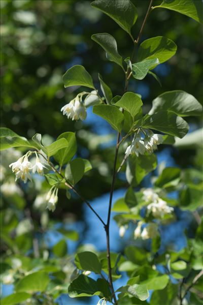 Styrax officinalis L.