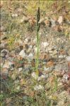 Echinochloa muricata var. microstachya Wiegand