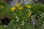Photo 1/10 Tephroseris balbisiana (DC.) Holub