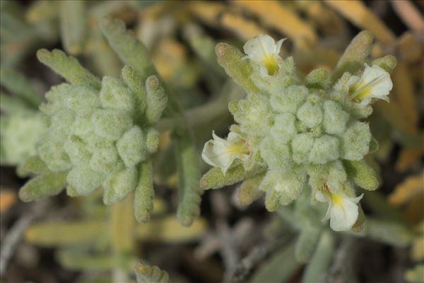 Teucrium polium subsp. clapae S.Puech