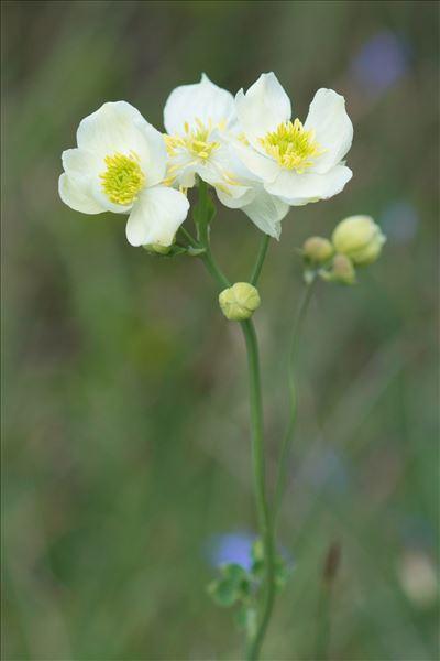 Thalictrum tuberosum L.