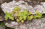 Photo 1/6 Theligonum cynocrambe L.