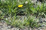 Tolpis staticifolia (All.) Sch.Bip.