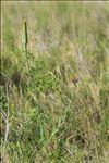 Tragopogon porrifolius L.