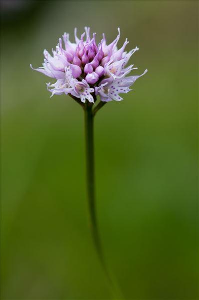 Traunsteinera globosa (L.) Rchb.