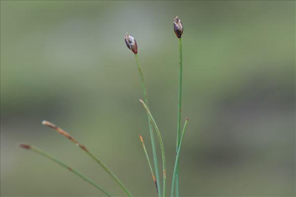 Trichophorum pumilum (Vahl) Schinz & Thell.
