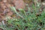 Trifolium angustifolium L.