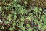 Trifolium cherleri L.