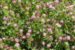 Trifolium resupinatum var. majus Boiss.