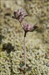 Trifolium saxatile All.