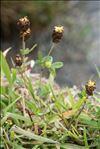 Trifolium spadiceum L.