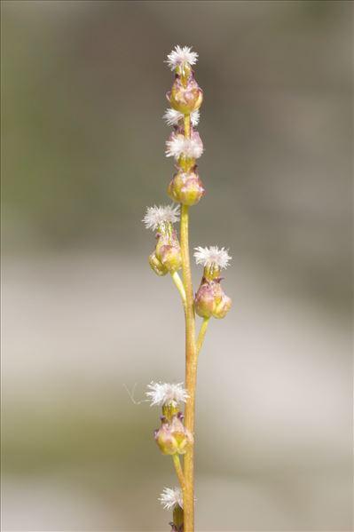 Triglochin palustris L.