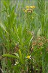 Tripolium pannonicum (Jacq.) Dobrocz.
