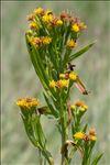 Photo 1/2 Tripolium pannonicum (Jacq.) Dobrocz.