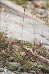 Photo 1/2 Trisetum distichophyllum (Vill.) P.Beauv. ex Roem. & Schult.