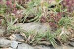 Photo 2/2 Trisetum distichophyllum (Vill.) P.Beauv. ex Roem. & Schult.