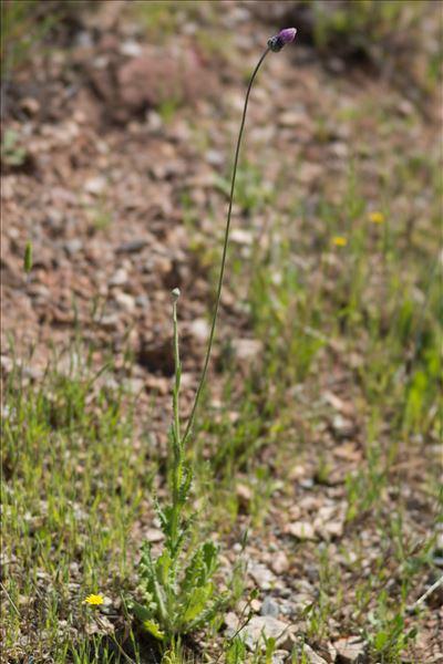 Tyrimnus leucographus (L.) Cass.