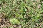 Photo 2/3 Tyrimnus leucographus (L.) Cass.