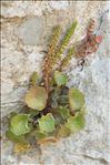 Photo 2/7 Umbilicus rupestris (Salisb.) Dandy
