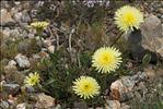 Photo 3/5 Urospermum dalechampii (L.) Scop. ex F.W.Schmidt