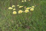 Urospermum dalechampii (L.) Scop. ex F.W.Schmidt