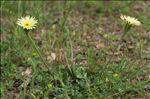Photo 4/5 Urospermum dalechampii (L.) Scop. ex F.W.Schmidt