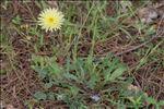 Photo 5/5 Urospermum dalechampii (L.) Scop. ex F.W.Schmidt