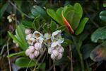 Vaccinium vitis-idaea L. subsp. vitis-idaea