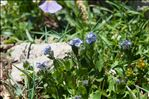 Veronica bellidioides f. lilacina (F.Towns.) B.Bock