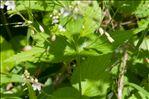 Veronica urticifolia Jacq.