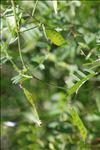 Vicia elegantissima Shuttlew. ex Rouy