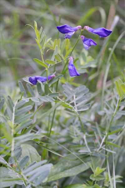 Vicia onobrychioides L.