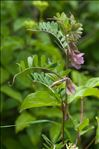 Photo 3/3 Vicia pannonica Crantz