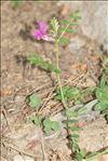 Vicia pyrenaica Pourr.