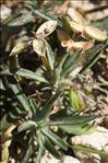 Photo 5/6 Viola arborescens L.