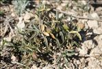 Photo 3/6 Viola arborescens L.