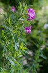 Photo 6/6 Epilobium hirsutum L.