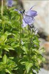 Photo 3/3 Viola cornuta L.