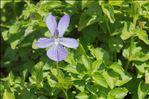 Photo 2/3 Viola cornuta L.