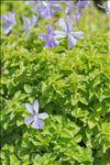 Photo 1/3 Viola cornuta L.