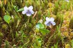Viola palustris L.