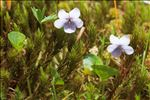 Photo 1/11 Viola palustris L.