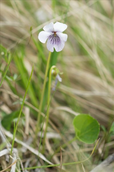 Viola palustris L.