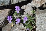 Photo 1/4 Viola valderia All.