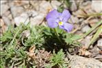 Photo 4/4 Viola valderia All.
