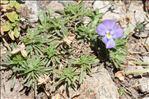 Viola valderia All.
