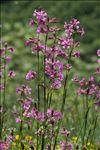 Viscaria vulgaris Bernh. subsp. vulgaris