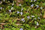 Photo 2/2 Wahlenbergia hederacea (L.) Rchb.