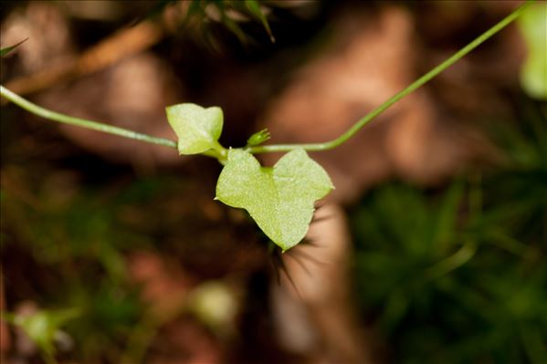Wahlenbergia hederacea (L.) Rchb.